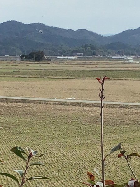 工房裏手には冬場に飛来する白鳥の舞う姿と田圃をついばむ姿も見えます